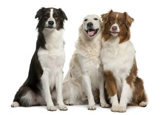 Bigstock-Group-Of-Three-Mixed-breed-Dog-10205771