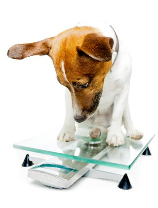 Bigstock-dog-on-scale-33514697