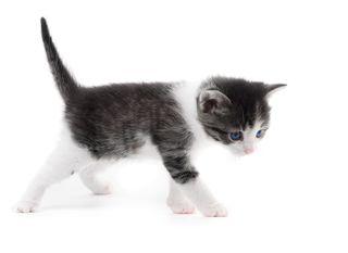 Bigstock-Black-White-Kitten-37589560