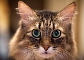 Bigstock-Head-Cat-portrait-full-face-42415324