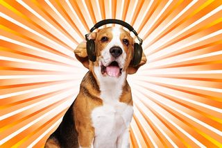 Bigstock-Beagle-dog-wearing-headphones--30212555