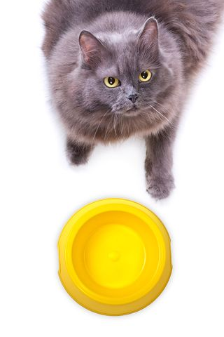 Bigstock-Hungry-Grey-Cat-Looks-Up-To-Ca-43311592