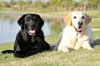 Bigstock-Dogs-3375441