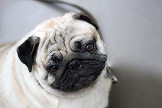 Bigstock-Funny-Closeup-Of-A-Cute-Mops-P-41972227