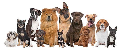 Bigstock-Group-Of-Twelve-Dogs-31556210