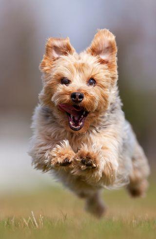 Bigstock-A-happy-Yorkshire-terrier-runn-19633013