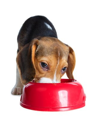 Bigstock-Cute-beagle-puppy-eating-from--26330642