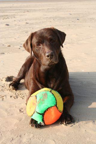 Bigstockphoto_Dog_With_Ball_2638570