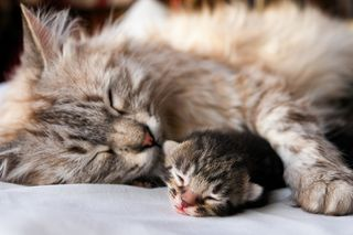 Bigstock-Cat-and-kitten-hug-and-sleep-i-18734903