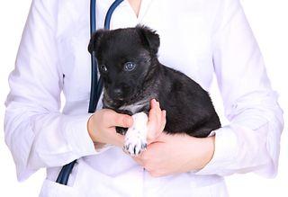 Bigstock-Veterinary-doctor-holding-pupp-47882423
