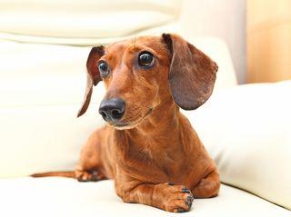 Bigstock-dachshund-dog-on-sofa-24258146