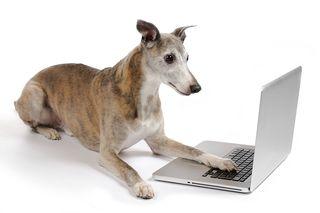 Bigstock-Greyhound-Working-On-Laptop-31106552