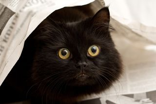 Bigstock-Cute-Black-Cat-Under-A-Newspap-5003454