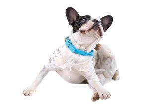 Bigstock-French-bulldog-scratching-his--54681419