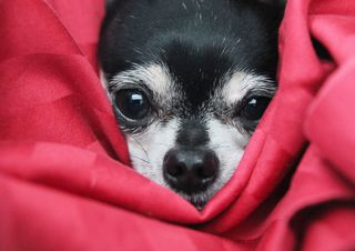 Bigstock-a-cute-chihuahua-in-a-blanke-42714049