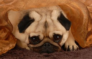 Bigstock-Pug-Hiding-Under-Blanket-5887429