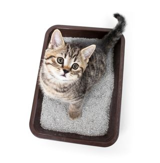 Bigstock-kitten-or-cat-in-toilet-tray-b-56912444