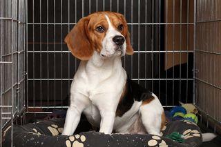 Bigstock-Dog-In-Cage-31422002
