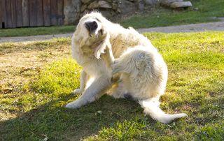 Bigstock-Golden-Retriever-Dog-Scratchin-70544968