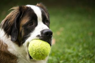 Bigstock-Saint-Bernard-Dog-With-Toy-73969621